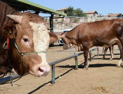 Hayvan pazarında kurban hareketliliği başladı