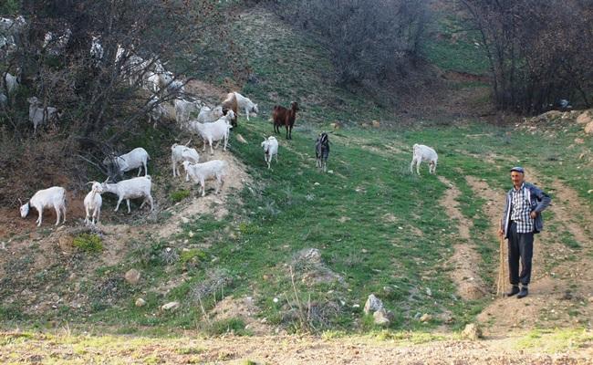 Ankara Keçisi Yetiştiriciliğine Yeniden Başladılar