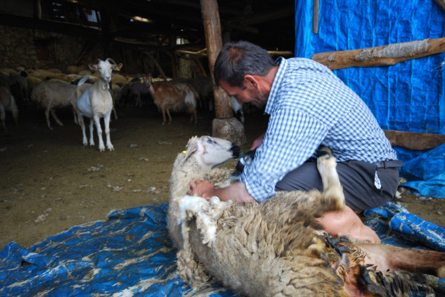 Aydos Yaylası'nda Koyunlara Yayla Tıraşı