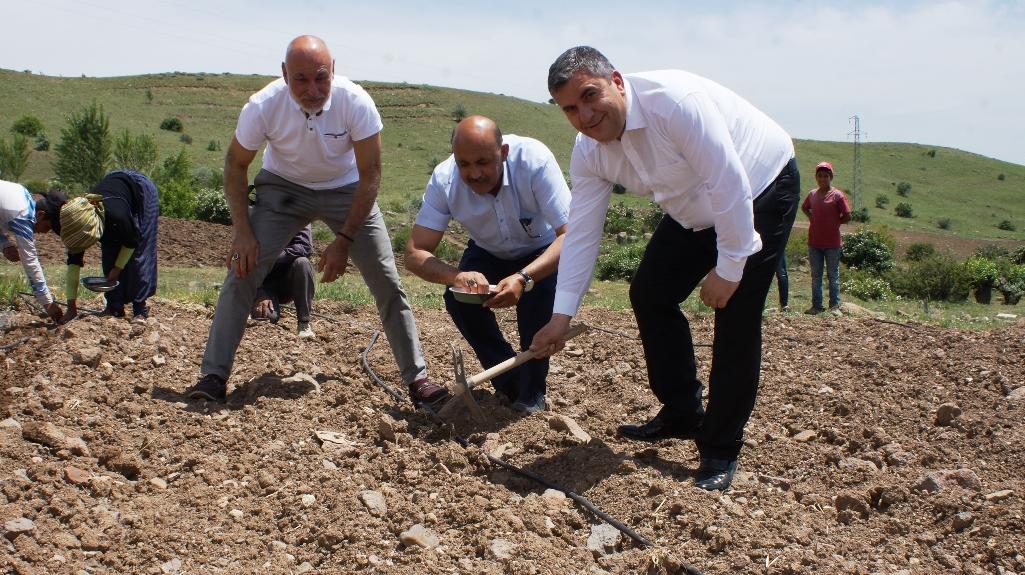 Çubuk'ta salatalık ekimi başladı