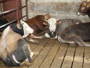 Yüceller Çiftliği'nde Kurbanlık Satışları Başladı