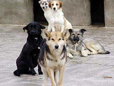 Esenboğada köpekler cirit atıyor