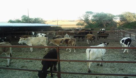 Sığırlar Telef Oldu Diye Sigorta Şirketini Dolandırmış