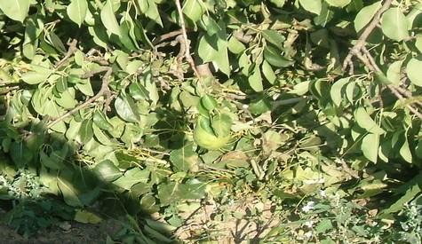 Belediyeden Meyveli Ağaç Katliamı