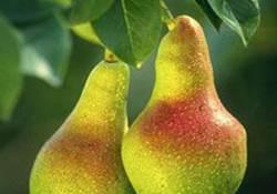 İşte Kıymetini Bilmediğimiz Meyve