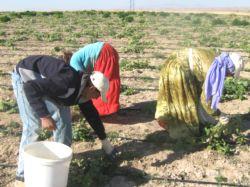 Çubuk Turşuları için Salatalık Ekimi Başladı