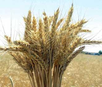 Çölyak için özel buğday