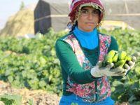 Turşuluk salatalık hasadı rötarlı başladı