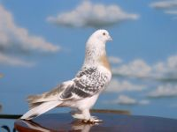 Çubuk'ta Güvercin ve Köpek Hırsızlığı