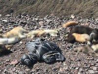Çubuk'ta köpek katliamı