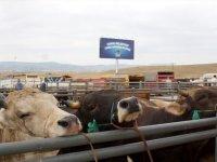 Çubuk hayvan pazarı, şap hastalığından dolayı geçici süreyle kapatıldı